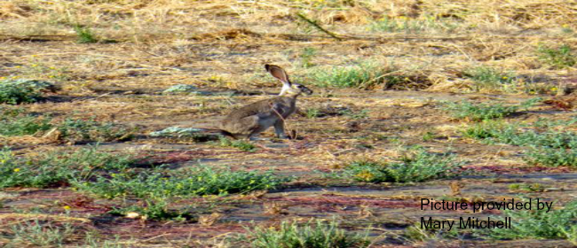 Hare at wetlands